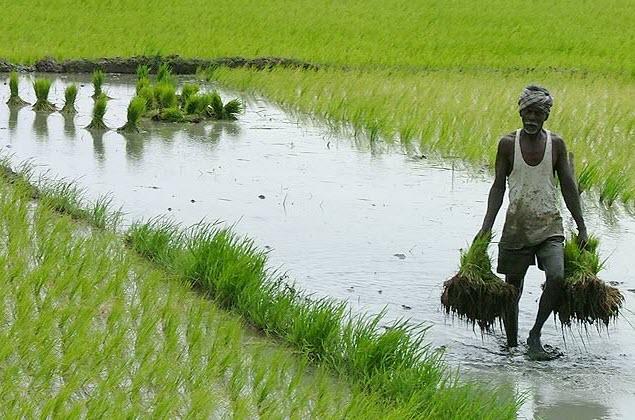 india-rice-farm-01